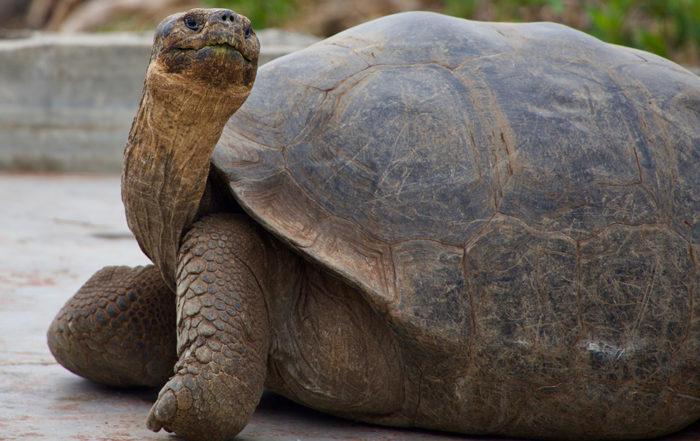 peso tartaruga libbre chili